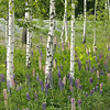 Birches and wild  Lupines growing along motorway