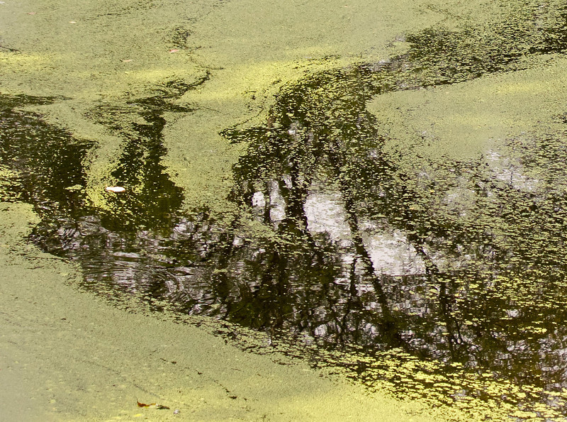small pond in the Arnold arboretum with duckweeds streams and reflections from trees