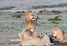 Hyena Lion Wildebeest Kill Mara Topi House