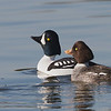 A Pair of Barrow's Goldeneye at Shoreline Lake, Mountain View, Santa Clara County, 15-Jan-2014