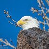 Bald Eagle - Sacramento National Wildlife Refuge