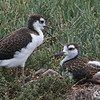 Two Juvenile Black-necked Stilts