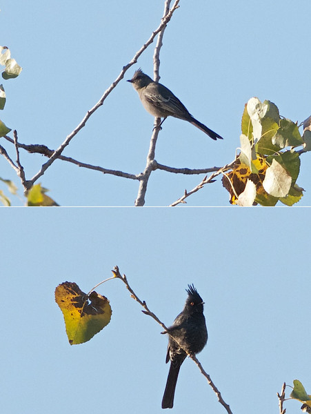Male and Female Phainopepla at the Calaveras River on Shelton Rd near Escalon Bellota Rd, 11-Nov-2012