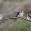 Juvenile Cliff Swallows, Salt Pond A2E, 4-Aug-2013