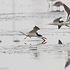3 Black Skimmers, Charleston Slough, Santa Clara County, CA, 27-July-2013