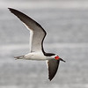 Black Skimmer, Charleston Slough, Santa Clara County, CA, 27-July-2013
