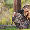 Wild Turkey, Ed Levin County Park, 2012-12-16, on CBC
