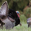 February 29, 2012 - Photo of the Day - Wild Turkey at Ed Levin Park