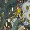 Cape May Warbler, Palo Alto, Santa Clara County, 1-22-2013