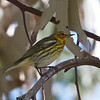 Cape May Warbler, Palo Alto, Santa Clara County, 5-March-2013