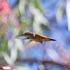 Male Rufous Hummingbird, Elm Group Picnic Area at Ed Levin County Park, 12-Mar-2014