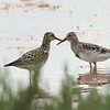 Pectoral Sandpipers (Adult)