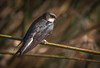 Banded Tree Swallow