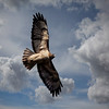 Hawk in Clouds