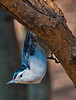 Nuthatch on a small tree