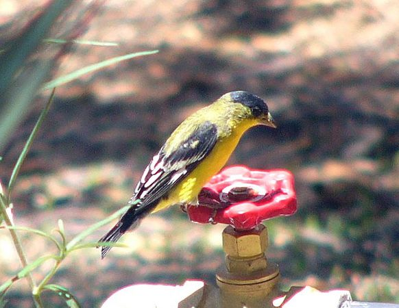 Lesser Goldfinch, Ash Canyon, AZ  7-21-05
