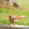 The Duchess of Dexter, our Northern Cardinal, is enjoying the unsalted peanuts at Le Avian Cafe.