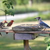 Left to Right:  Peanut, our Red-Bellied Woodpecker (Male) and Gilligan, the Blue Jay<br /> In the background is the Duke of Soperton, our Northern Cardinal