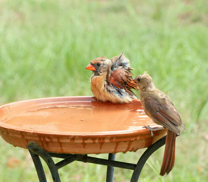 Our Northern Cardinals, the Duchess of Soperton and and Duchess of Dexter, enjoying a spa experience!