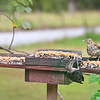L to R:  Leonardo, the Eastern Bluebird, Ivana, the Red-Bellied Woodpecker (Juvenile), and Bocephus, the Brown Thrasher