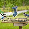 Our family of Blue Jays featuring Pig-Jay, Roberta, Ralph & Lauren