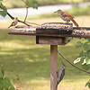 Left to Right:  Fiona, the House Finch and Bocephus the Brown Thrasher<br /> Underneath the feeder is Opie, the Red-Bellied Woodpecker