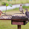 Left to Right:  The Duchess of Soperton, our Northern Cardinal, Bocephus, the Brown Thrasher & Ivana, the juvenile Red-Bellied Woodpecker