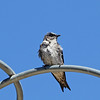 Purple Martin (Female)