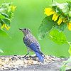 Ava, the immature Eastern Bluebird, gazes at the sunflowers at Le Avian Cafe.