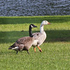 Canada Geese - on the right is a Leucistic Canada Goose.