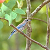 Immature Eastern Bluebird