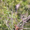 An immature Eastern Bluebird looking at the Brown Thrasher in the tree.