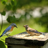 Papa Lorenzo, the Eastern Bluebird, and Lanzo, the immature Eastern Bluebird