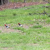 Mr. and Mrs. Red-Headed Woodpecker