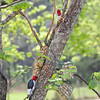 Mr. and Mrs. Red-Headed Woodpecker enjoying lunch!