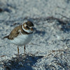Semipalmated Plover, St George Island