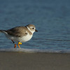 Piping Plover, St George Island
