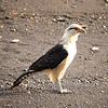 Yellow-headed Caracara (Milvago chimachima)