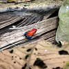 Strawberry Poison-dart Frog (Dendrobates pumilio)