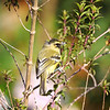 Yellow-winged Vireo (Vireo carmioli)