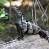Black Spiny-tailed Iguana Ctenosaura similis