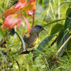 Black-and-yellow Silky-flycatcher (Phainoptila melanoxantha)