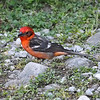 Flame-colored Tanager (Piranga bidentata)