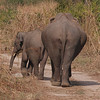 Indian Elephant (Elephas maximus indicus), mother and young