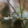 Mottle-cheeked Tyrannulet (Phylloscartes ophthalmicus)
