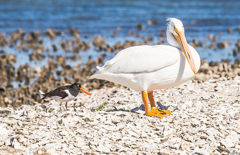 White Pelican and American Oystercather