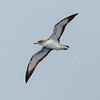 Cory's Shearwater at Gulf Stream off Hatteras, NC (08-09-2014) 033-18