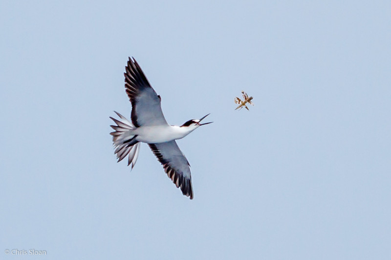Sooty Tern adult at Gulf Stream off Hatteras, NC (08-09-2014) 033-64