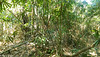 Bamboo Forest at Thattekad, Kerala, India (03-05-2015) 074-5