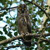 Long-eared Owl - immature - August 11, 2014